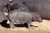 HIPPO - KRUGER NATIONAL PARK SOUTH AFRICA (14).JPG