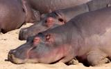 HIPPO - KRUGER NATIONAL PARK SOUTH AFRICA (2).JPG