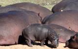 HIPPO - KRUGER NATIONAL PARK SOUTH AFRICA (8).JPG