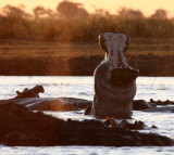 HIPPO - SUNSET CRUISE ON THE CHOBE - CHOBE NATIONAL PARK BOTSWANA (23).JPG
