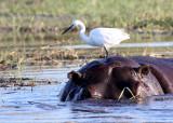 HIPPO - WITH LITTLE EGRET - CHOBE NATIONAL PARK BOTSWANA (3).JPG