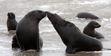 PINNIPED - SEA LION - CAPE FUR SEAL - CAPE CROSS NAMIBIA (14).JPG