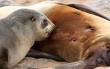 PINNIPED - SEA LION - CAPE FUR SEAL - CAPE CROSS NAMIBIA (2).JPG