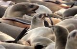 PINNIPED - SEA LION - CAPE FUR SEAL - CAPE CROSS NAMIBIA (21).JPG