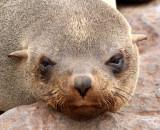 PINNIPED - SEA LION - CAPE FUR SEAL - CAPE CROSS NAMIBIA (22).JPG