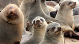 PINNIPED - SEA LION - CAPE FUR SEAL - CAPE CROSS NAMIBIA (26).JPG