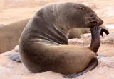 PINNIPED - SEA LION - CAPE FUR SEAL - CAPE CROSS, NAMIBIA (18).JPG