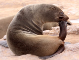 PINNIPED - SEA LION - CAPE FUR SEAL - CAPE CROSS, NAMIBIA (19).JPG