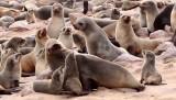 PINNIPED - SEA LION - CAPE FUR SEAL - CAPE CROSS, NAMIBIA (23).JPG