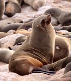 PINNIPED - SEA LION - CAPE FUR SEAL - CAPE CROSS, NAMIBIA (3).JPG