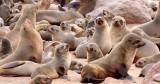 PINNIPED - SEA LION - CAPE FUR SEAL - CAPE CROSS, NAMIBIA (32).JPG