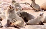PINNIPED - SEA LION - CAPE FUR SEAL - CAPE CROSS, NAMIBIA (34).JPG
