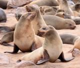 PINNIPED - SEA LION - CAPE FUR SEAL - CAPE CROSS, NAMIBIA (37).JPG