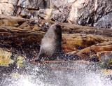 PINNIPED - SEA LION - CAPE FUR SEAL - PLETTENBERG BAY SOUTH AFRICA (30).JPG