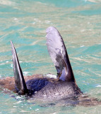 PINNIPED - SEA LION - CAPE FUR SEAL - PLETTENBERG BAY SOUTH AFRICA (49).JPG