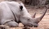 RHINO - WHITE RHINO - IMFOLOZI NATIONAL PARK SOUTH AFRICA (12).JPG