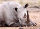 RHINO - WHITE RHINO - IMFOLOZI NATIONAL PARK SOUTH AFRICA (26).JPG