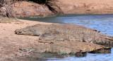 REPTILE - CROCODILE - NILE CROCODILE - KRUGER NATIONAL PARK SOUTH AFRICA (11).JPG
