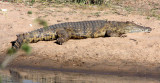 REPTILE - CROCODILE - NILE CROCODILE - KRUGER NATIONAL PARK SOUTH AFRICA (8).JPG