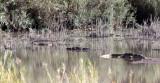 REPTILE - CROCODILE - NILE CROCODILE - KRUGER NATIONAL PARK SOUTH AFRICA.JPG