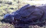 REPTILE - CROCODILE - NILE CROCODILE - OLD MALE - 5 METERS OR MORE - CHOBE NATIONAL PARK BOTSWANA.JPG