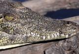 REPTILE - CROCODILE - NILE CROCODILE - YOUNG - CHOBE NATIONAL PARK BOTSWANA (10).JPG