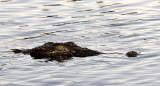 REPTILE - CROCODILE - NILE CROCODILE - YOUNG ONE IN THE SUNSET ON THE CHOBE - CHOBE NATIONAL PARK BOTSWANA (3).JPG