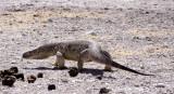 REPTILE - MONITOR LIZARD - ROCK MONITOR - VARANUS ALBIGULARIS - ETOSHA NATIONAL PARK NAMIBIA (5).JPG