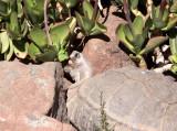 REPTILE - TORTOISE - LEOPARD TORTOISE - STIGMOCHELYS PARDALIS - KAROO NATIONAL PARK SOUTH AFRICA (3).JPG