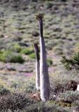 APOCYNACEAE - PACHYPODIUM NAMAQUANUM - GOEGAP NATURE PRESERVE SOUTH AFRICA (2).JPG