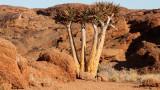 ASPHODELACEAE - ALOE DICHOTOMA - KOKERBOOM - AUGRABIES FALLS NP SOUTH AFRICA (3).JPG