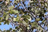 FABACEAE - COLOPHOSPERMUM MOPANE - MOPANE TREE - ETOSHA NATIONAL PARK NAMIBIA - MOPANE TREE.JPG