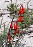 IRIDACEAE - WATSONIA SPECIES - ELAND'S BAY SOUTH AFRICA (2).JPG