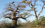 MALVACEAE - ADANSONIA DIGITATA - AFRICAN BAOBAB TREE - KALAHARI DESERT PLANET BAOBAB BOTSWANA.JPG