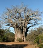 MALVACEAE - ADANSONIA DIGITATA - AFRICAN BAOBAB TREE - KRUGER NATIONAL PARK SOUTH AFRICA.JPG