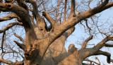 MALVACEAE - ADANSONIA DIGITATA - AFRICAN BAOBAB TREE - NATIONAL PARK NEAR POPA FALLS NAMIBIA (4).JPG