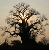 MALVACEAE - ADANSONIA DIGITATA - AFRICAN BAOBAB TREE - NATIONAL PARK NEAR POPA FALLS NAMIBIA (6).JPG
