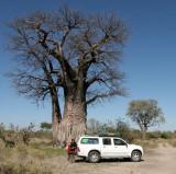 MALVACEAE - ADANSONIA DIGITATA - AFRICAN BAOBAB TREE - SAVUTI BOTSWANA.JPG