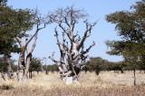 MORINGACEAE - MORINGA OVALIFOLIA - ETOSHA NATIONAL PARK NAMIBIA - GHOST TREE FOREST (2).JPG