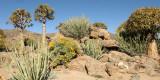 NAMAQUALAND - KOKERBOOM PLANT COMMUNITY  - GOEGAP NATURE RESERVE SOUTH AFRICA (39).JPG