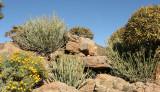 NAMAQUALAND - KOKERBOOM PLANT COMMUNITY  - GOEGAP NATURE RESERVE SOUTH AFRICA (41).JPG