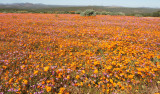 NAMAQUALAND SOUTH AFRICA - WILDFLOWER VIEWING (7).JPG