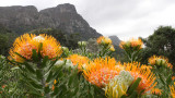 PROTEACEAE - LEUCOSPERMUM CORDIFOLIUM - PINCUSHION - CAPE TOWN ARBORETUM SOUTH AFRICA (7).JPG