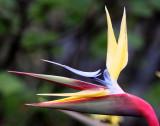 STRELITZIACEAE -- STRELITZIA SPECIES - BIRD OF PARADISE - CAPE TOWN ARBORETUM SOUTH AFRICA (3).JPG