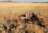 WELWITSHIACEAE - WELWITSCHIA MIRABILIS - SKELETON COAST NATIONAL PARK NAMIBIA (2).JPG