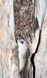 RODENT - RAT - ACACIA RAT OR BLACK-TAILED TREE RAT - THALLOMYS NIGRICAUDATUS - KGALAGADI NATIONAL PARK SOUTH AFRICA.JPG