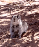 RODENT - RAT - BRANTS'S WHISTLING RAT - KGALAGADI NATIONAL PARK SOUTH AFRICA (14).JPG