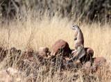 RODENT - SQUIRREL - DAMARA GROUND SQUIRREL - DAMARALAND, NAMIBIA (10).JPG