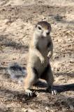 RODENT - SQUIRREL - SOUTH AFRICAN GROUND SQUIRREL - KALAHARI GEMSBOK NP (3).JPG