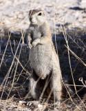 RODENT - SQUIRREL - SOUTHERN GROUND SQUIRREL - ETOSHA NATIONAL PARK NAMIBIA (15).JPG